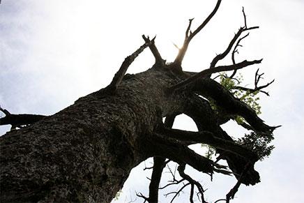 ロープワークによる高木の剪定、伐採